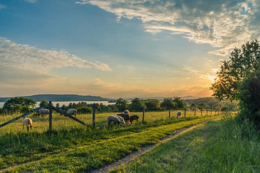 На фото овцы пасутся на земельном участке.