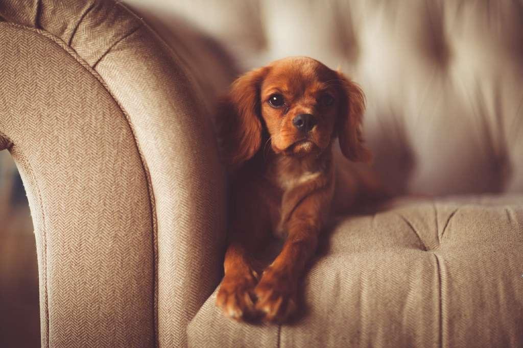 На фото пес лежит на диване.